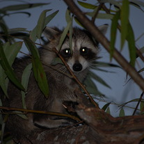 Raccoon_006_medium