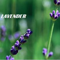 Lavender_20better33_medium