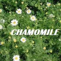 German_20chamomile_medium