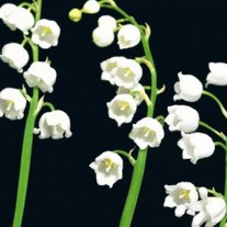 Lily-of-the-valley-300x240