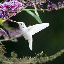 Albino-hummingbird-in-virginia-3