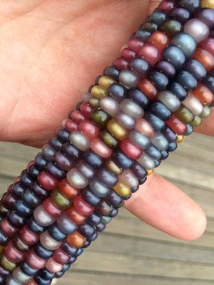 Glass Gem Cherokee Indian Corn The Most Beautiful Corn In The